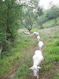 pecore in fila