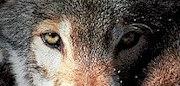wolf21.jpg