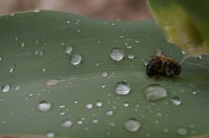 ape morta