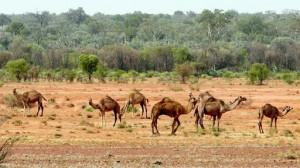 cammelli australia