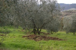cinghiali sotto l'olivo