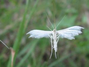 federgeistchen Pterophoridae