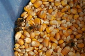 ape-granturco