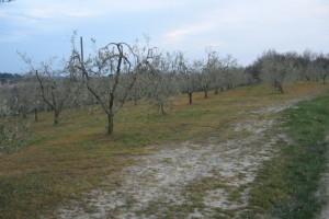 diserbo-olivi