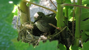 uccellino-vigna3
