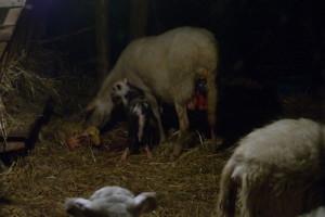primo agnello