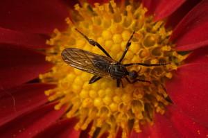 tipo-zanzara3