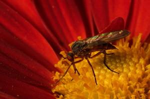 tipo-zanzara4
