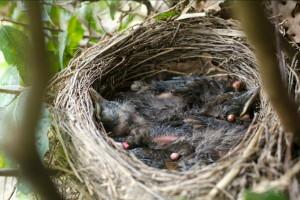 uccellini-nido