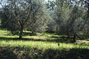 olive-20142