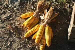 raccolto-granturco14