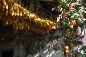 raccolto-granturco18
