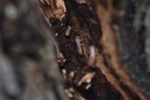 termiti-vigna1