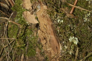 termiti olivo